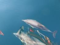 Le ballet des dauphins