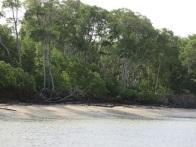 La mangrove et sa vasière.