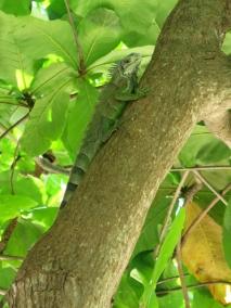 L'iguane se cache dans l'arbre.