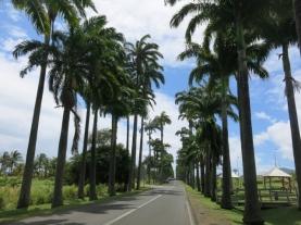 Allée de palmiers royaux