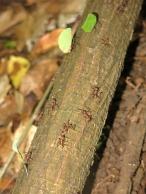 Les fourmis manioc partout dans la nature