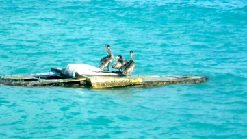 Pélicans au Gosier