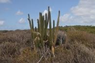 Cactus à la savane des Pétrifications