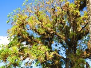 Les épiphytes, partout sur les arbres.