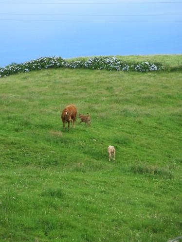 Des vaches partout !